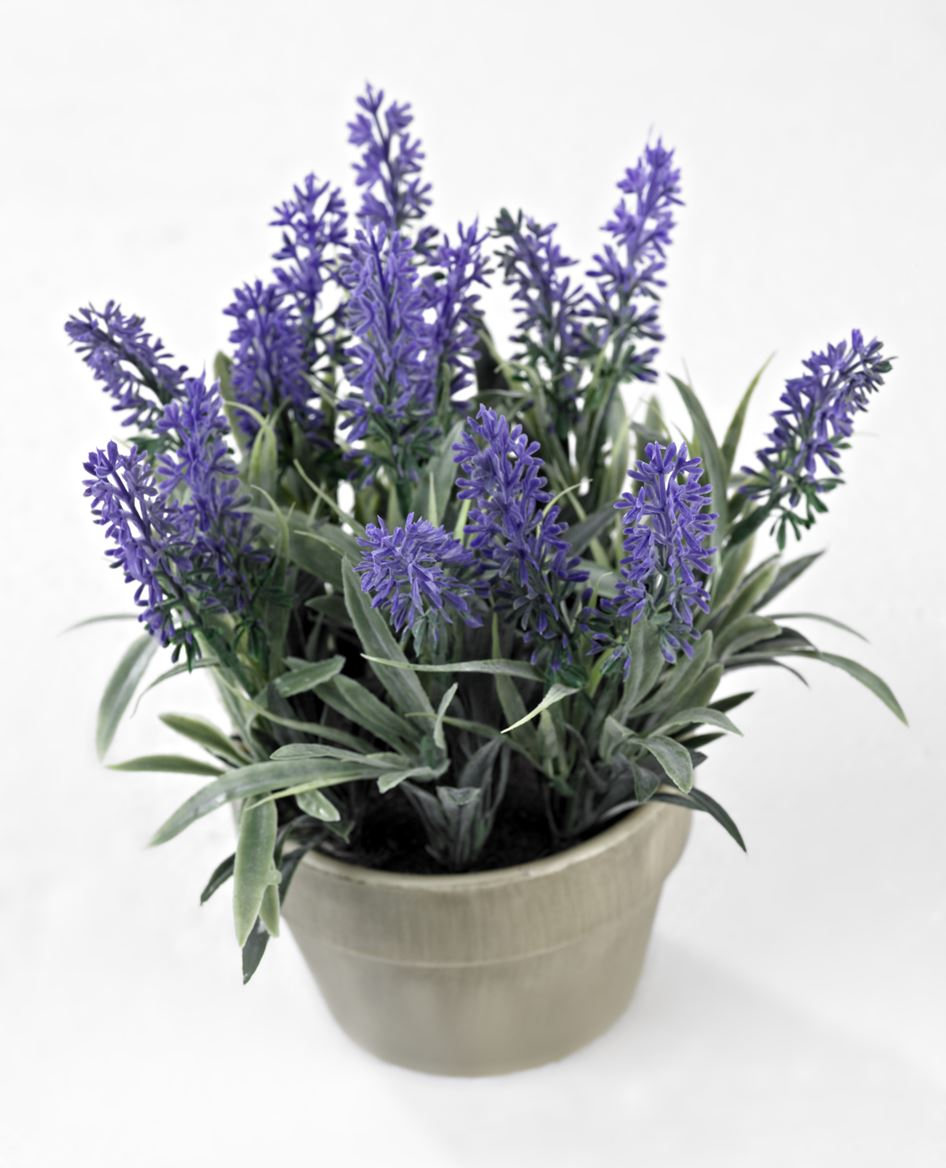 lavender plante en pot lavande h 20 cm sp cialiste depuis 40 ans d j casa. Black Bedroom Furniture Sets. Home Design Ideas