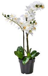 ORCHID Orchidee In Topf Weiss L 68 cm