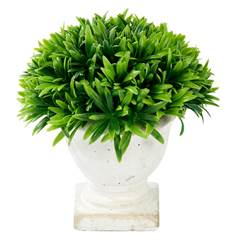 BUXUS Plant in pot
